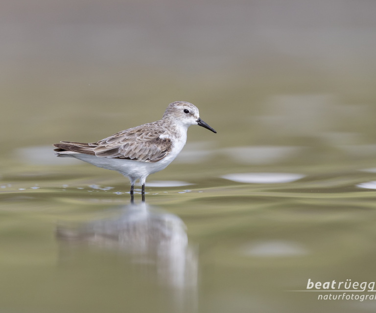 Zwergstrandlaeufer - Little Stint