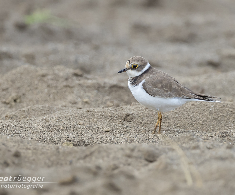 Flussregenpfeifer - Little Ringed Plover